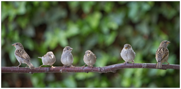 house-sparrows-on-branch-by-martha-de-jong-lantink-ccl